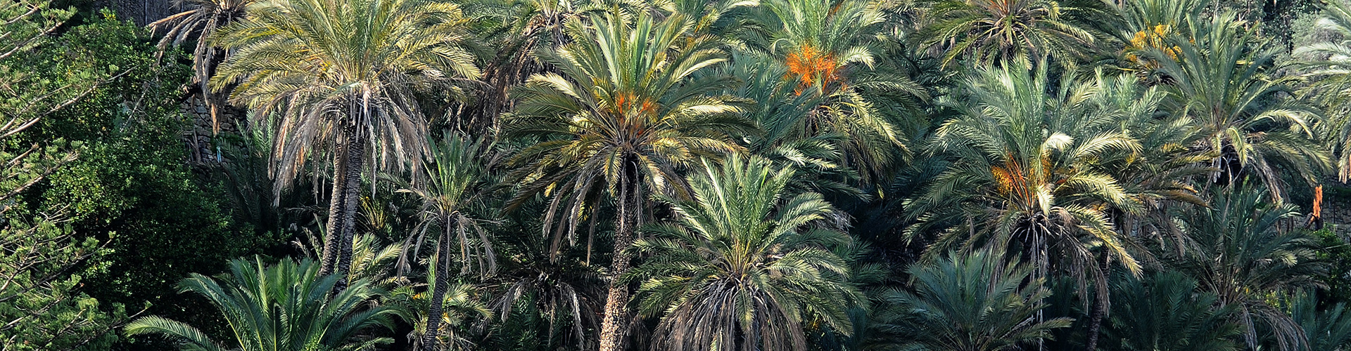 Dipping into the Northest natural palm wood of Europe